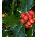 planta de acebo (Ilex aquifolium) en formato forestal