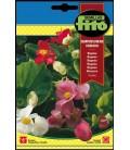 Begonia Semperflorens Variada
