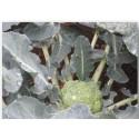 plantel de brocoli
