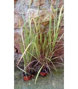 citronela (Cymbopogon flexuosus) planta en maceta