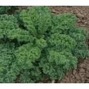 plantel de kale dwarf blue curled