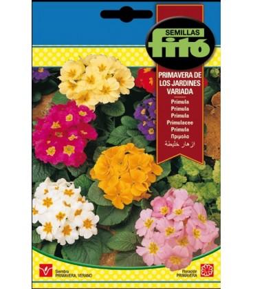 primula - primavera de los jardines variada