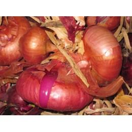 Plantel de cebolla Roja de año
