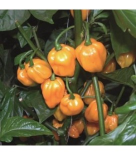 pimiento Scotch Bonnet Big Sun