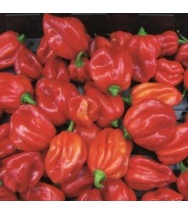 pimiento Scotch Bonnet Caribbean Antillais
