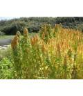 quinoa temuco (semillas ecológicas)