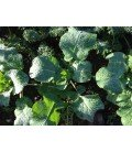 kale Madeley (semillas ecológicas)
