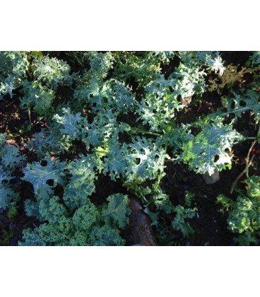 kale tough mother (semillas ecológicas)