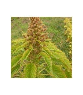 amaranto golden (semillas ecológicas)