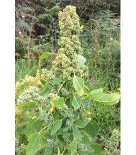quinoa chadmo (semillas ecológicas)