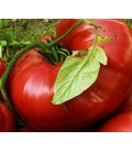 tomate brandywine sudduth strain