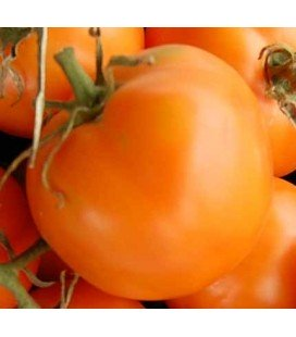 tomate Ilse's Yellow Latvian