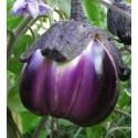 plantel de berenjena violeta de Florencia
