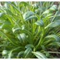 Mibuna - semillas ecológicas