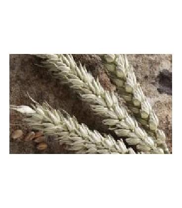 espelta (semillas ecológicas)