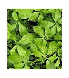 jiagoulan - (Gynostemma pentaphyllum)