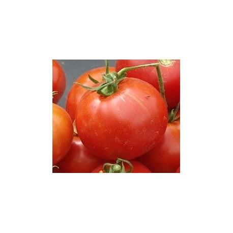 semillas de tomate glacier