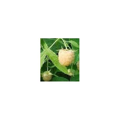 planta de frambueso blanco en maceta