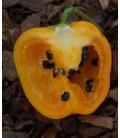 pimiento rocoto amarillo - plantel