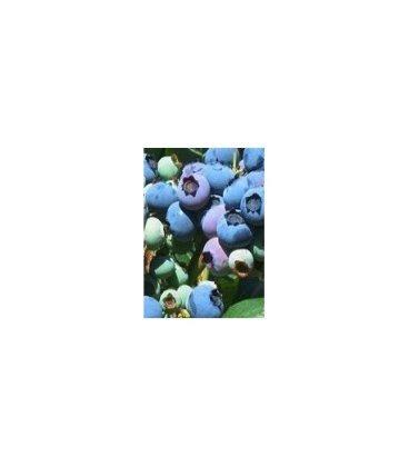 planta de arándano elliot en maceta