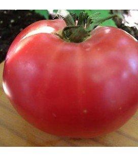 tomate rosa de Berna -plantel