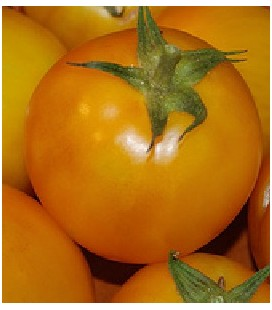 golden jubilee tomate