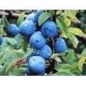 planta de endrino en maceta