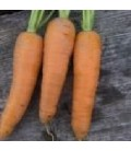zanahoria gigante roja (semillas ecológicas)