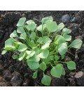 lechuga de los mineros (Claytonia perfoliata) semillas ecológicas