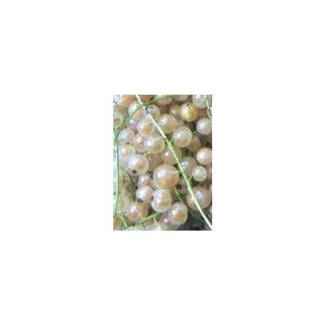 planta de grosellero blanco en maceta