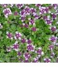 tomillo serpillo (semillas ecológicas)