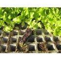 plantel de lechuga maravilla de verano