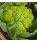 coliflor verde Macerata -plantel