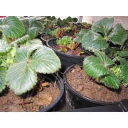 planta de fresón en maceta
