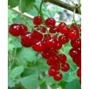 planta de grosellero rojo en maceta