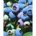 planta de arándano Darrow en maceta