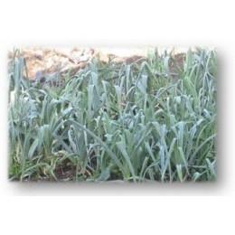plantel de puerro
