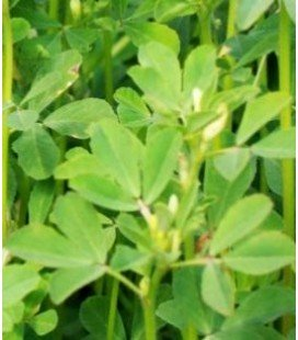 alholva, fenogreco (Trigonella foenum-graecum) semillas ecológicas