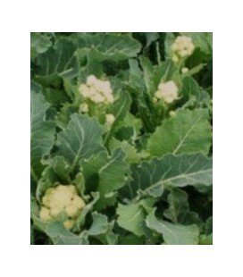 brócoli perenne nine star