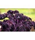 kale scarlet - semillas sin tratamiento