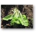plantel de acelga