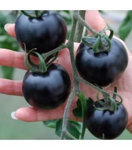 tomate Indigo Rose