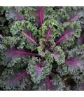 kale Midnight Sun TZB0277 - semillas certificadas no tratadas