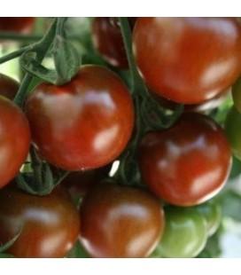tomate Sunchocola - cherry negro F1