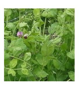 Guisante letón de navidad- semillas ecológicas