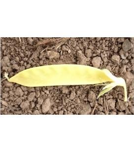 Guisante tirabeque dulce dorado- semillas ecológicas