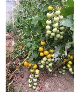 Tomate Gobstopper