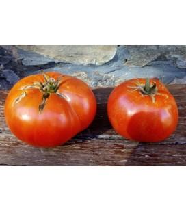 plantel de tomate de Barcenilla