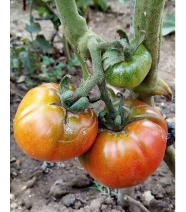 tomate artxabaleta