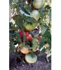 plantel de tomate malizia